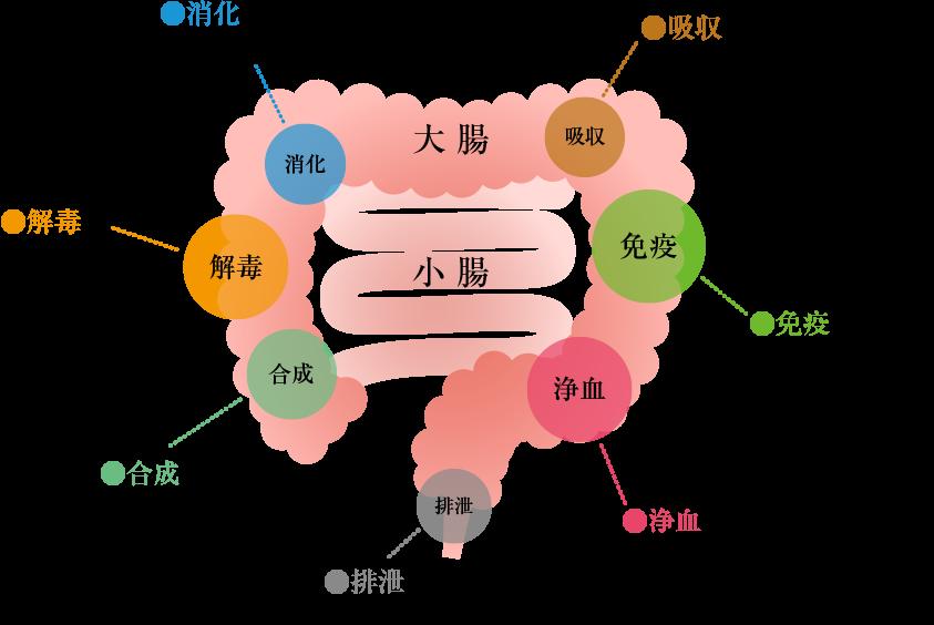 腸の7つの働き「消化」「吸収」「免疫」「浄血」「排泄」「合成」「解毒」