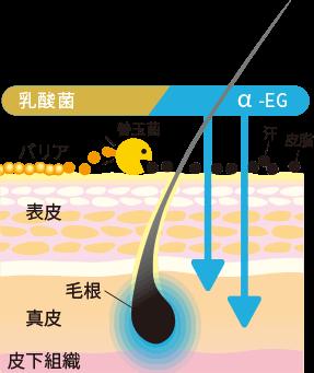 肌のバリアを作る乳酸菌の働き