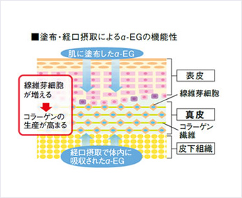 塗布・経口摂取によるα-EGの機能性