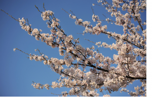 桜2018.3.6blog